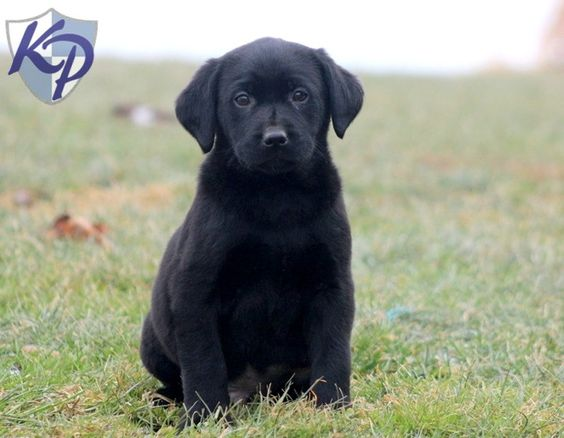 Sarge – Labrador Retriever – Black Puppy www.keystonepuppies.com  #keystonepuppies  #blacklab