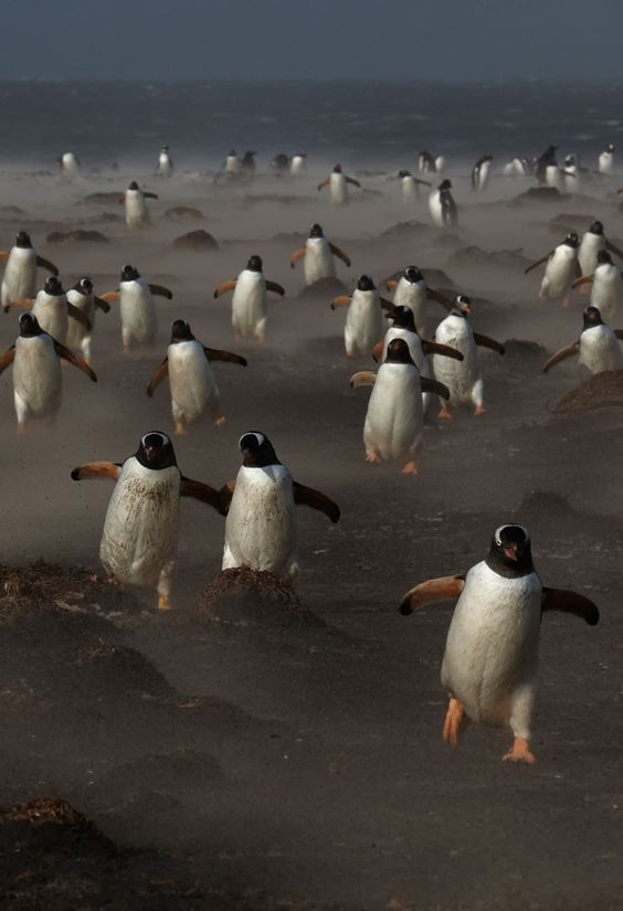 Gentoo penguins on the Sea Lion Island in the Falklands. photo michael lohmann