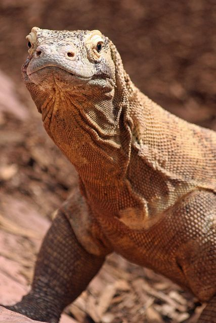 komodo dragon-love these guys