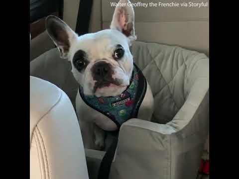 The French Bulldog Walter Is Arguing With His Owner In A Loud