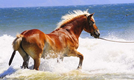 Beautiful, auburn, colored horse running in the ocean. Horses are such an awesome animals and very smart.  Click on pin for Pinterest tips.