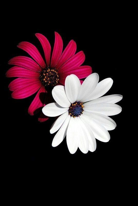 Naturepicturesbackground Check More At Http Www Resim3 Garipbilgiler Com 2020 01 13 7159 In 2020 Best Flower Wallpaper Flower Wallpaper Flowers Black Background
