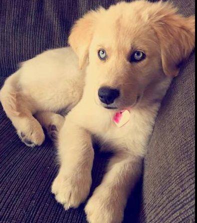 Huskiever (Husky + Golden Retriever) | 19 ungewöhnliche Hunde-Kreuzungen, die Dein Herz im Sturm erobern werden