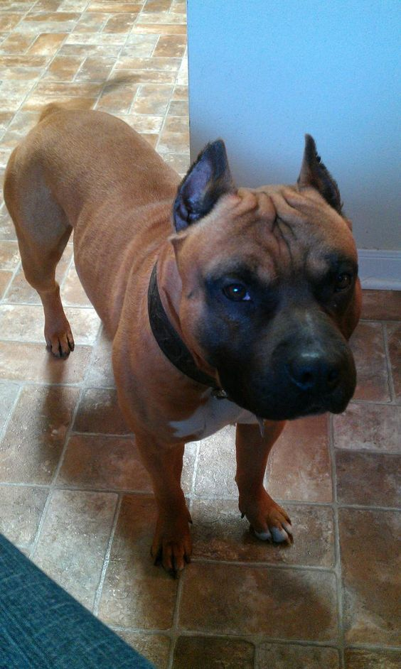 pit bull terriers pit bull dogs lost pets faces bull dog lost brown ...