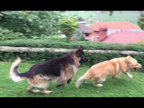 German Shepherd Vs Retriever Hd German Shepherd Retriever