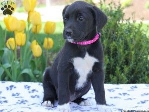 newfoundland black lab mix puppies for sale Dogs