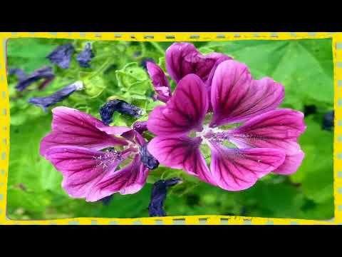 Para Que Sirve La Malva De Campo Baños De Asiento Con Malva Preparacion Plants Flowers Rose