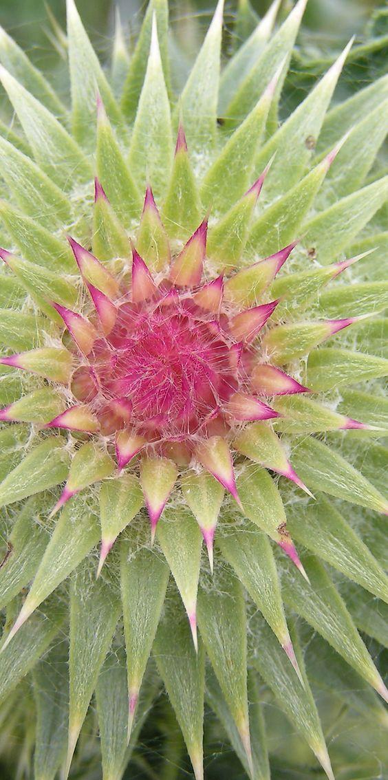Fleur de chardon nature as inspiration pinterest impressionnant fleur et cactus - Fleur de poison ...