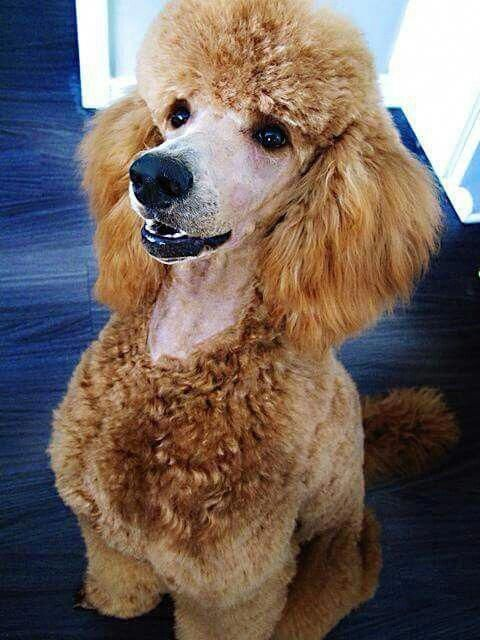 Discover The Very Smart Poodle Puppy Health Poodlelove Toypoodle