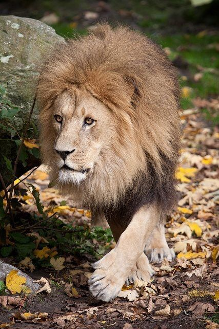 Prowling King...