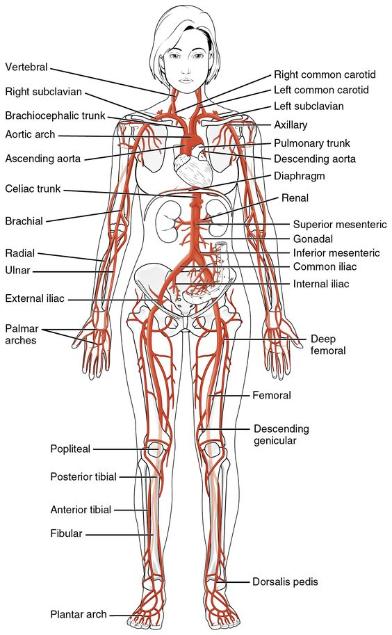 this diagrams shows the major arteries in the human body school  : human artery diagram - findchart.co