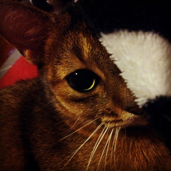 Abyssinian pupils!!!!