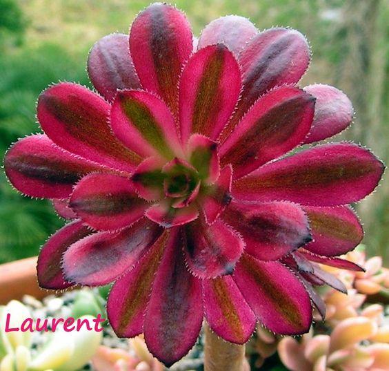 Variegated Aeonium 'Zwartkop'