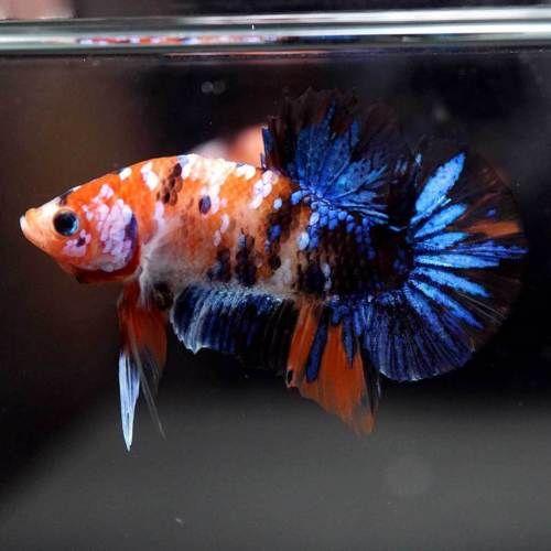 Live Betta Fish Fancy Orange Blue Koi Galaxy Halfmoon Plakat Hmpk Male 192 Betta Betta Fish Live Fish For Sale