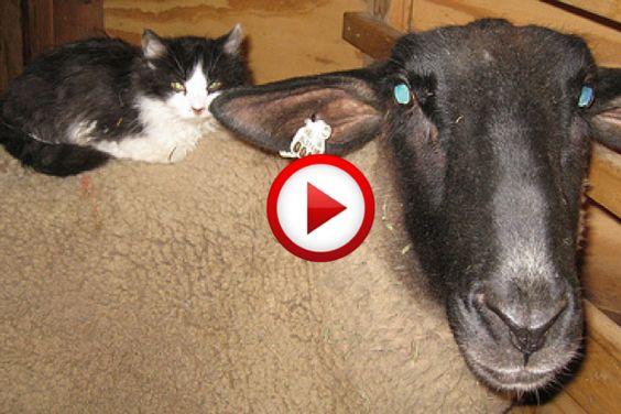 Cat on sheep funny #funny, #cats, #animals, #sheep, #videos, #videobox, #pinsland, https://apps.facebook.com/yangutu