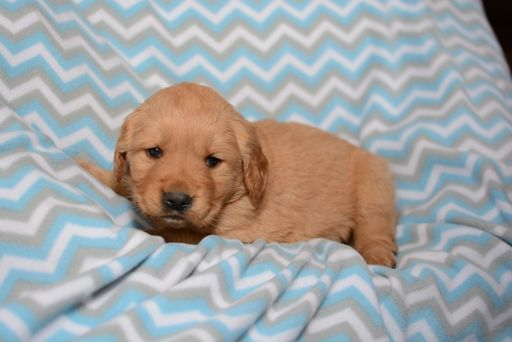 Golden Retriever Puppy For Sale In Harrisburg Il Adn 68390 On