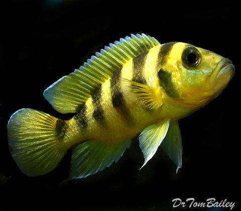yellow cichlid fish - photo #31