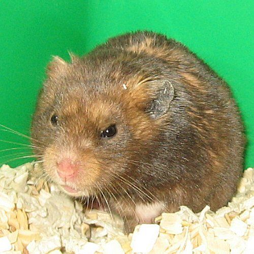 Lou Bega Black Yellow Short Hair Male Hamster Yellow Shorts Lou Bega