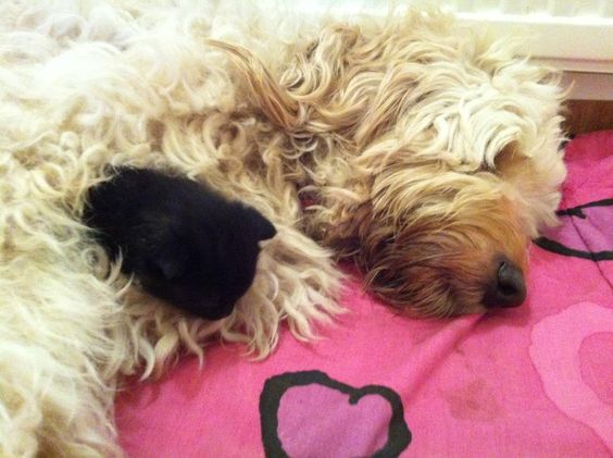 This is Copper - a golden doodle with her 1 week old pups.  The black 'pup' is in fact a kitten rescued from a house selling 3 & 4 weeks old kittens!  The seller has now been reported to the RSPCA but this little one has been lucky and has a new home along with her K9 siblings.