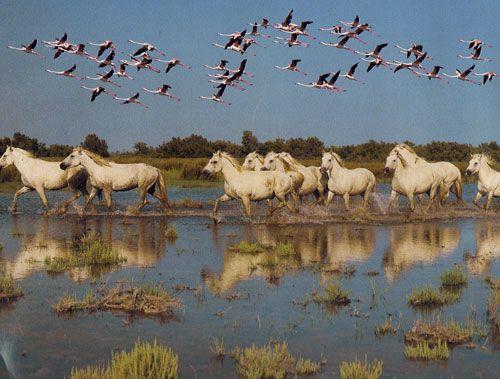 Flamants roses et chevaux de Camargue