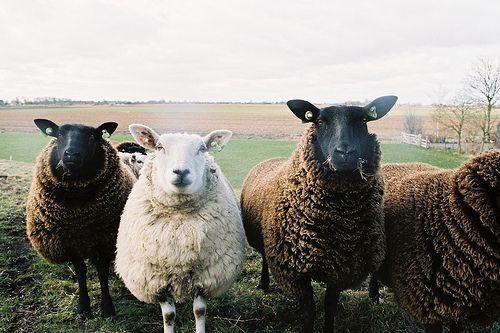 white sheep in the family