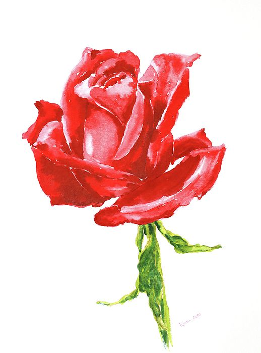 Beautiful Red Rose On White Background Watercolor Painting By