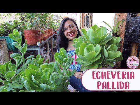 Cómo Cuido La Suculenta Gigante Echeveria Pallida Candy Bu Youtube Echeveria Suculentas Plantas Para Terrario