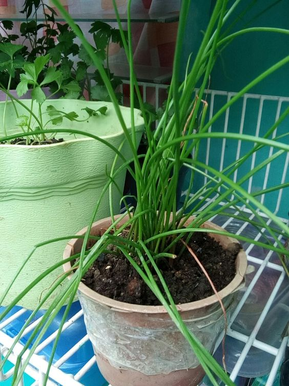 Chives in a very small pot