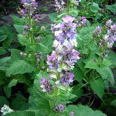 Backyard Patch Herbal Blog: Herb of the Week - Clary Sage