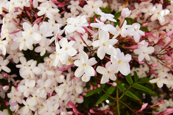 The delicate Jasmine blossom symbolizes unspoken elegance, comfort and modest beauty. Its delicate fragrance is said to bring calm and restfulness.