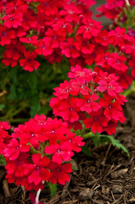 Flowering Plants For Texas And Natives Scarlet