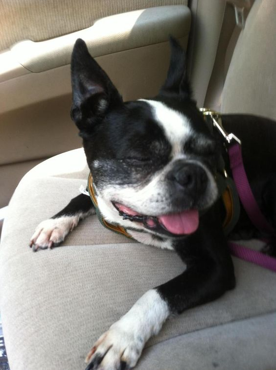 Lacey is an 11 year old gorgeous boston terrier that was aquired by NEBTR as an owner surrender.She has learned so much in the short time in her foster home. She is learning what a treat is and she is loving them. She is so easy going and loves to be around you all the time. she loves to sleep above your head on the top of the couch but if you dont mind she prefers to sleep with you in your bed. She is crate trained and doesnt mind sleeping in there either.