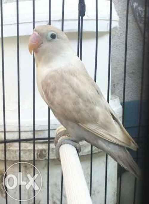 Lovebird Mocca Betina Aneka Jenis Burung Lovebird Burung Imut Burung Liar