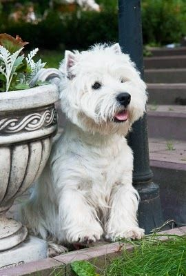 A westie named Barnaby. Someday...: