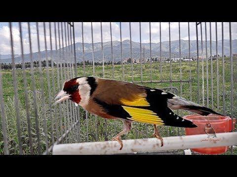 Voix Sauvage Chardonneret Je L Entends Et Profiter Youtube Animals Bird Parrot