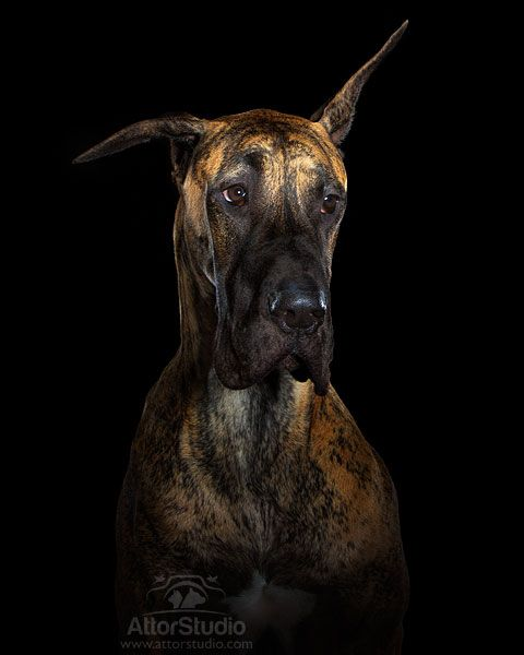 Attor Studio Great Dane Mastiff Great Dane Funny Brindle Great