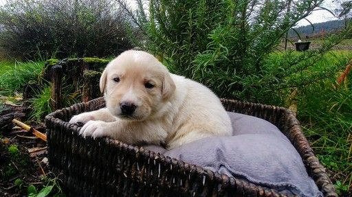 Litter Of 9 Great Pyrenees Labrador Retriever Mix Puppies For Sale In Oakland Or Adn 54699 On Puppyfinder Labrador Labrador Retriever Labrador Retriever Mix