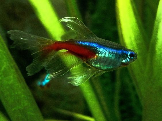 Long fin neon tetra aquariums pinterest neon photos for Tetra fish tank