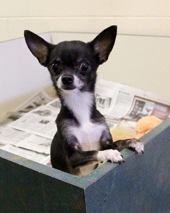 Chihuahuas From Facebook Chihuahua Chihuahua Cute Chihuahua