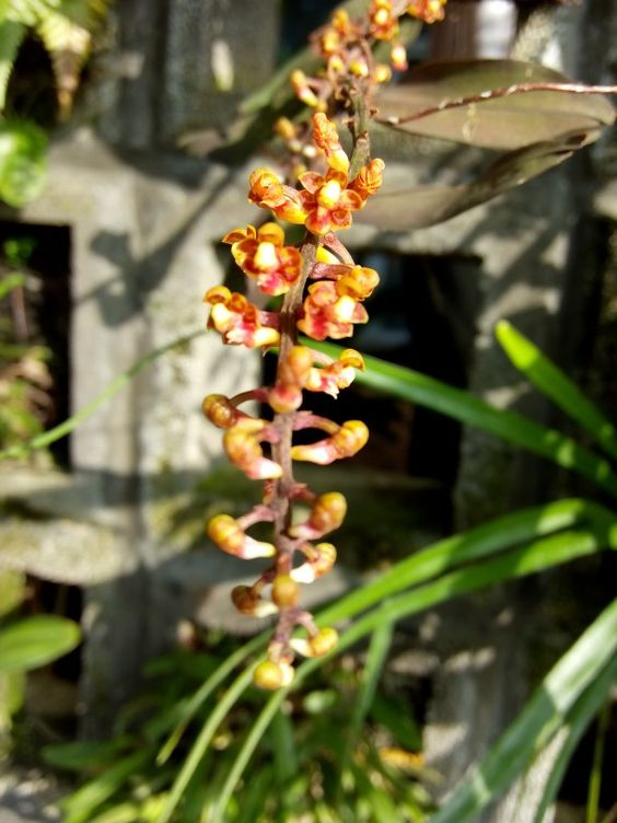 Native orchid 1
