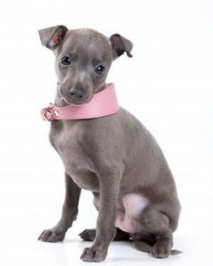 Iggy Pup!
