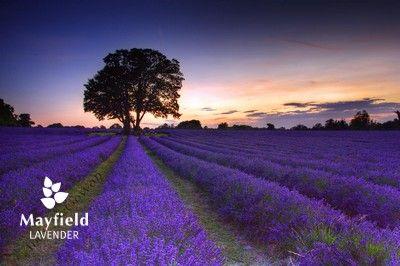 Carshalton's lavender fields.