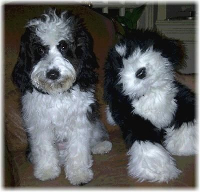 Mini Whoodle Puppies