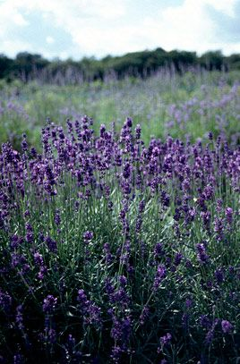 hummingbirds lavender hedge and spikes on pinterest. Black Bedroom Furniture Sets. Home Design Ideas