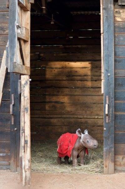 "Baby Rhino: ""Maalim"" by his stable door at the David Sheldrick Wildlife Trust. Omg - the cuteness!!"