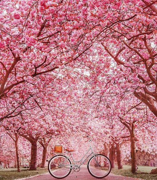 Pin By Dorothymartin On A Pleasant Afternoon Flowers Nature Blossom Trees Sakura Tree