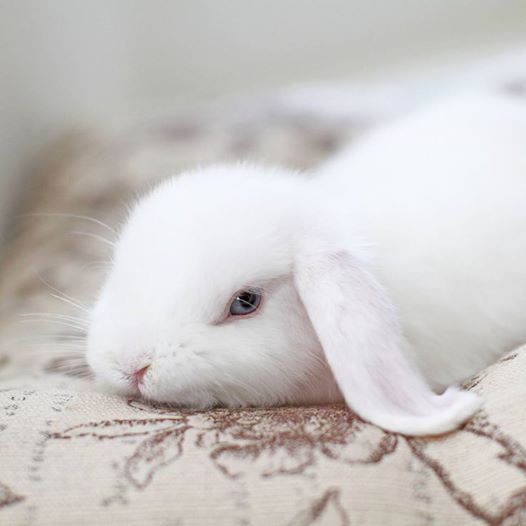 Beautiful blue-eyed white lop...reminds me of our very ...