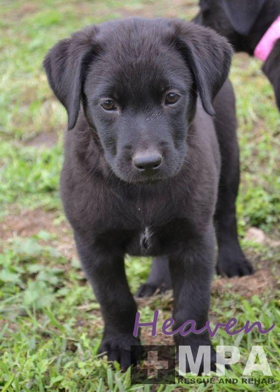 Heaven Medium Female Kelpie X Labrador Mix In Vic Petrescue Labrador Mix Labrador Pets