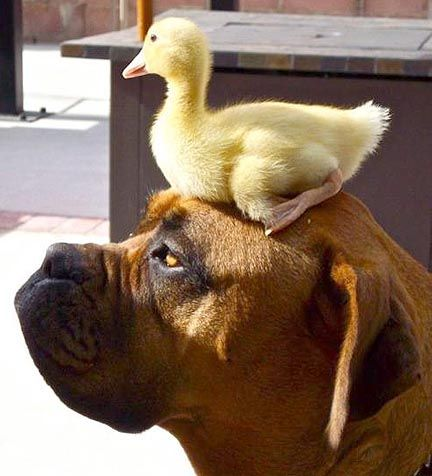 Only a boxer could have a duck on his head and appear to be bored.  SH
