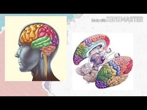 Bases Biológicas De La Conducta Corteza Cerebral Base